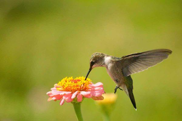 colibri qui butine une fleur